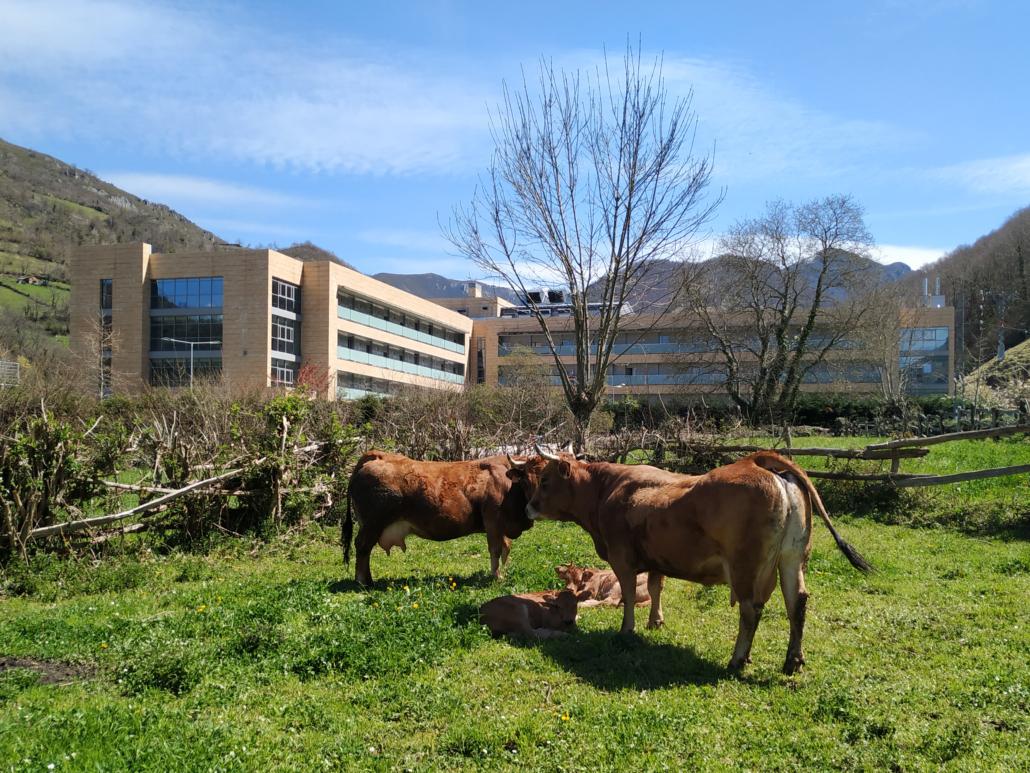 Vacas en el entorno de la Residencia Spa de Felechosa